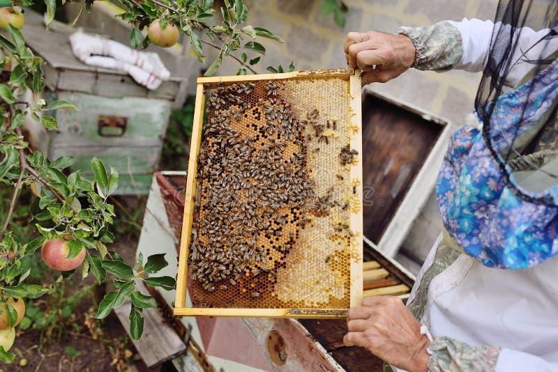 Capítulo para el primer de las abejas en las manos de un apicultor fotos de archivo