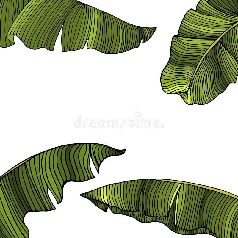 Capítulo para el texto de las hojas exóticas, verdes de un árbol de plátano aislado en el fondo blanco Idea para el cartel, tarje libre illustration