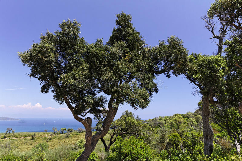 Download Cap Camarat, Landscape With Old Trees, Southern Europe Stock Photo - Image: 30637490