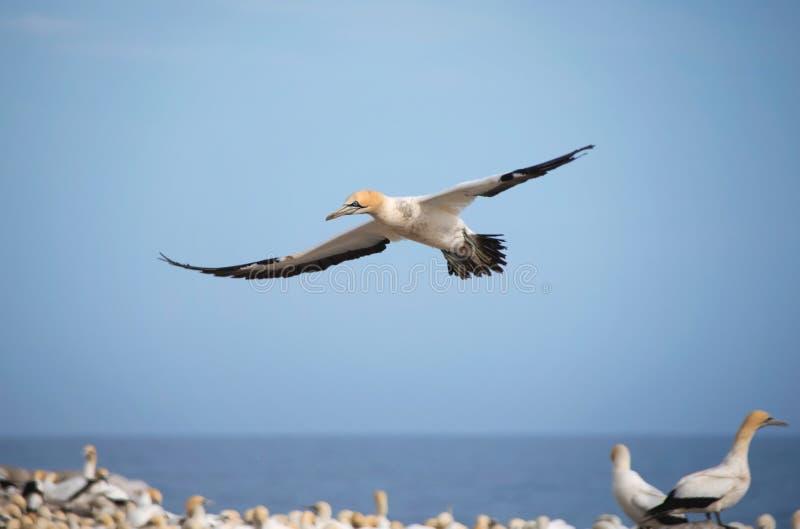 Cap Gannet en vol image libre de droits