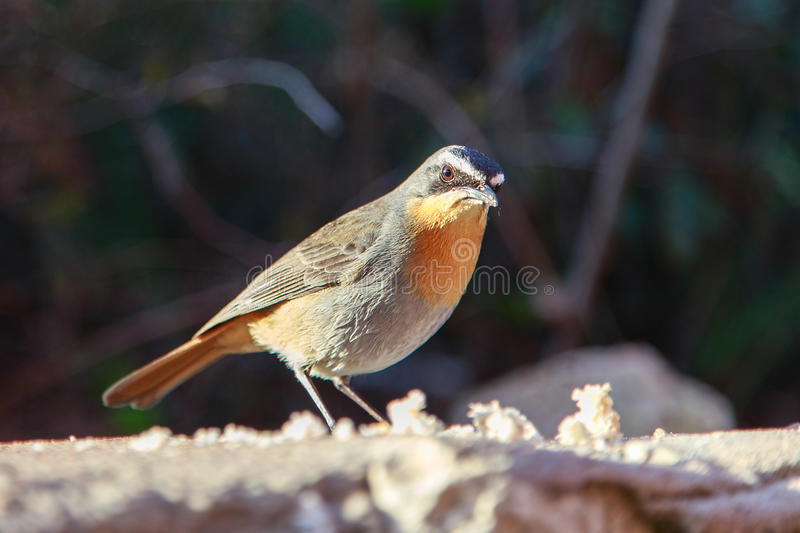 Cap Robin Chat images stock