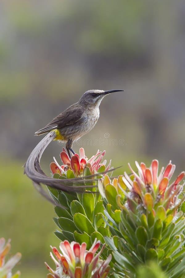 Cap Sugarbird photographie stock