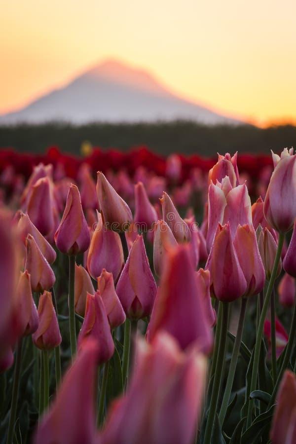 Capa da montagem da tulipa distante imagem de stock royalty free