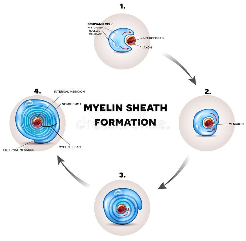 Capa del nervio de la envoltura de Myelin stock de ilustración