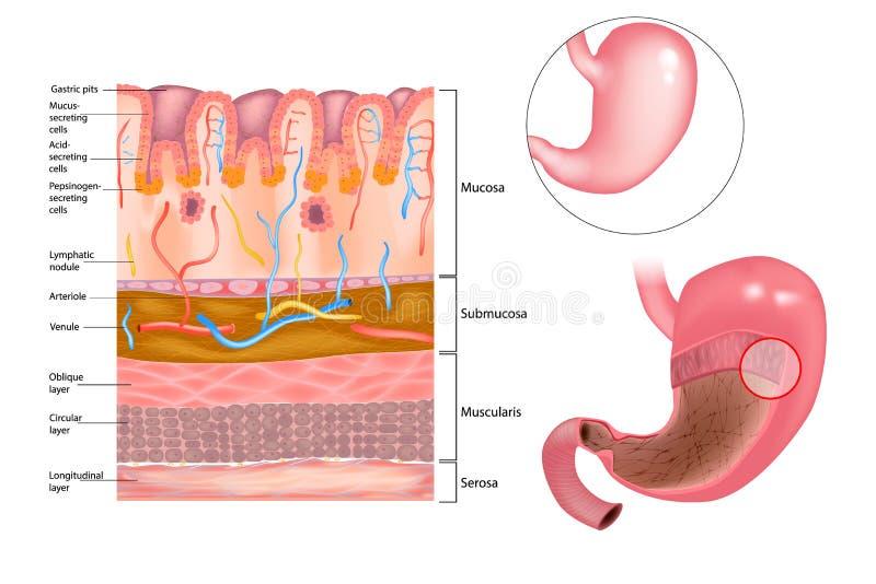 Capa mucosa en el estómago libre illustration