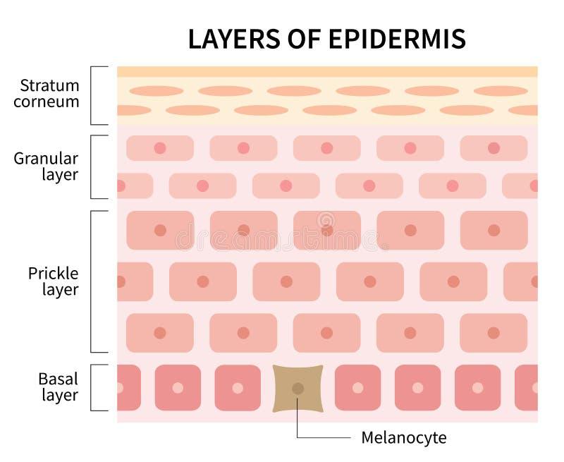 Capas de ejemplo de la epidermis aisladas en el fondo blanco Piel y concepto de la atención sanitaria ilustración del vector