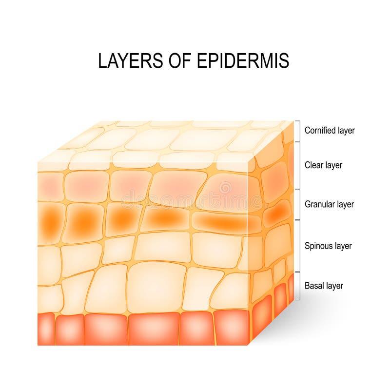 capas de epidermis stock de ilustración