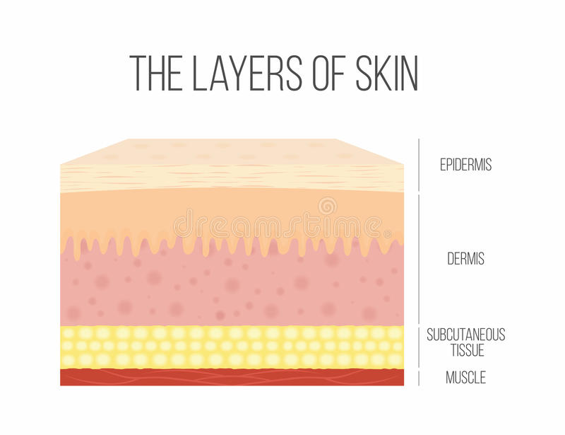Capas de la piel Piel humana sana, normal stock de ilustración