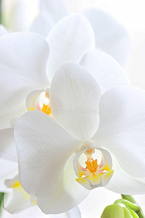 Capas de pétalos blancos de la orquídea imagen de archivo libre de regalías
