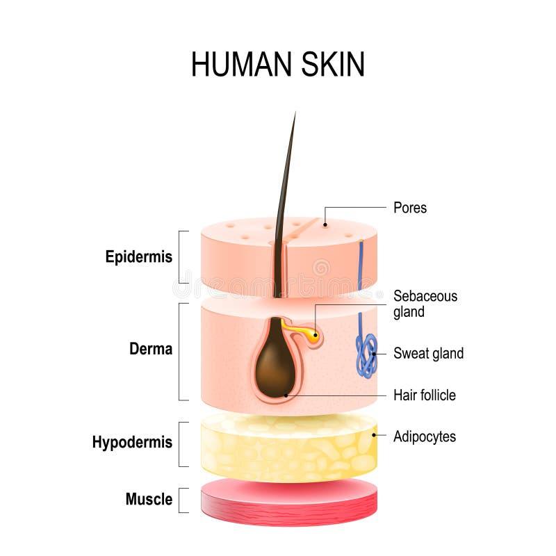 Capas de piel humana ilustración del vector. Ilustración de biología ...