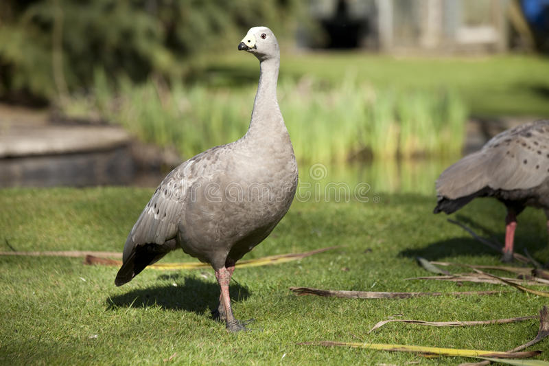 Download Cape Barren Goose On Grass In Sunlight Stock Photo - Image of cereopsis, grey: 22614848