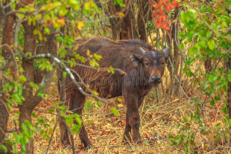 Cape Buffalo南非 免版税库存图片