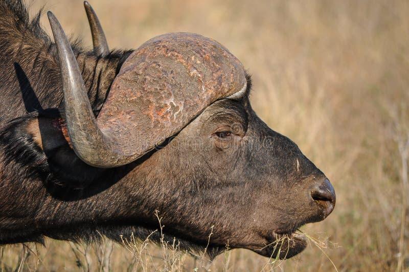 Cape Buffalo吃 免版税库存图片