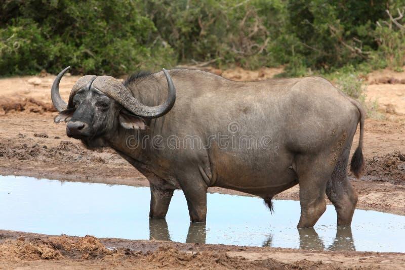 Cape Buffalo Bull royalty free stock images