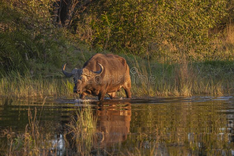 Cape Buffalo Crossing Lake in Sunlight stock image