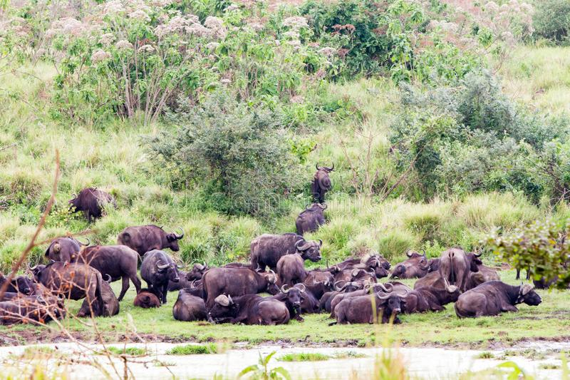 Cape buffalo obstinacy in Ngorongoro Conservation Area royalty free stock photo