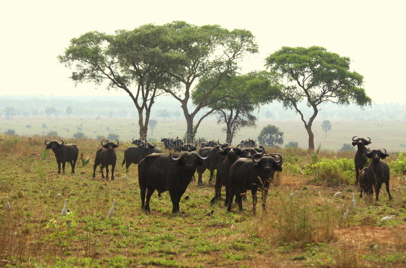 Cape Buffalo on the Savanna. Cape Buffalo with Acacia trees in the background on the wide open savanna of Murchison Falls National Park in Uganda stock image