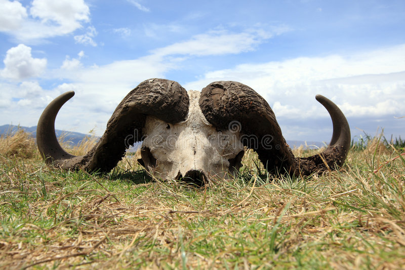 Cape buffalo skull stock photography