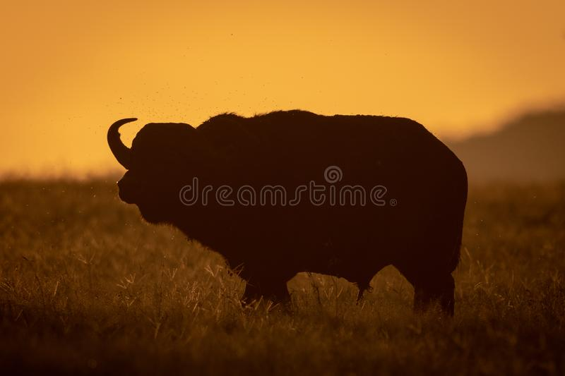 Cape buffalo stands in silhouette at sunrise royalty free stock images