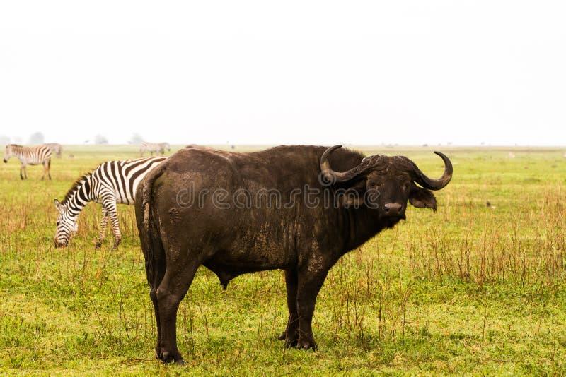 Cape buffalo and zebras in Ngorongoro royalty free stock photos