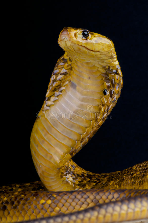 Cape cobra / Naja nivea stock images
