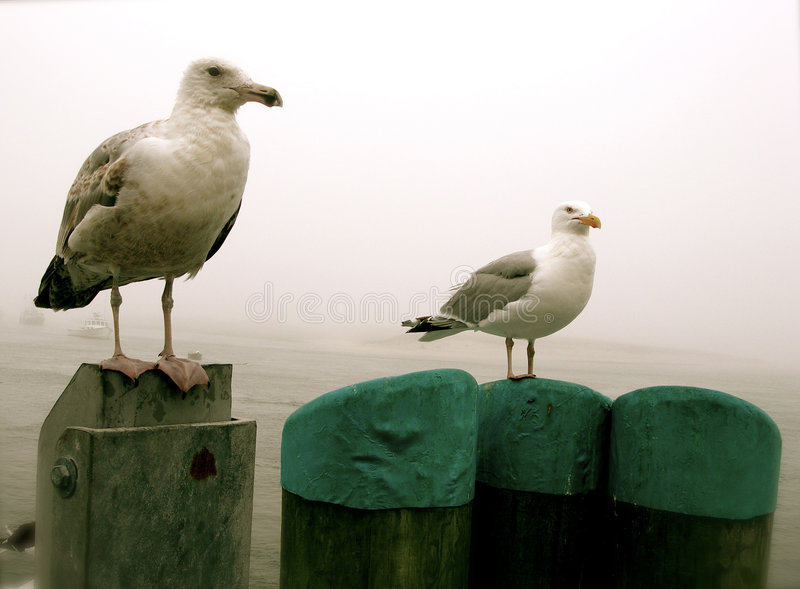 Cape Cod Seagulls. Gulls perch atop pilings on a foggy New England day at Chatham, Massachusetts stock images