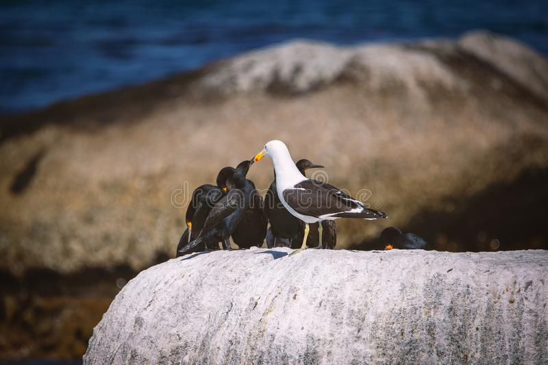 Cape cormorants and a seagull sitting on a rock at Betty`s Bay stock image