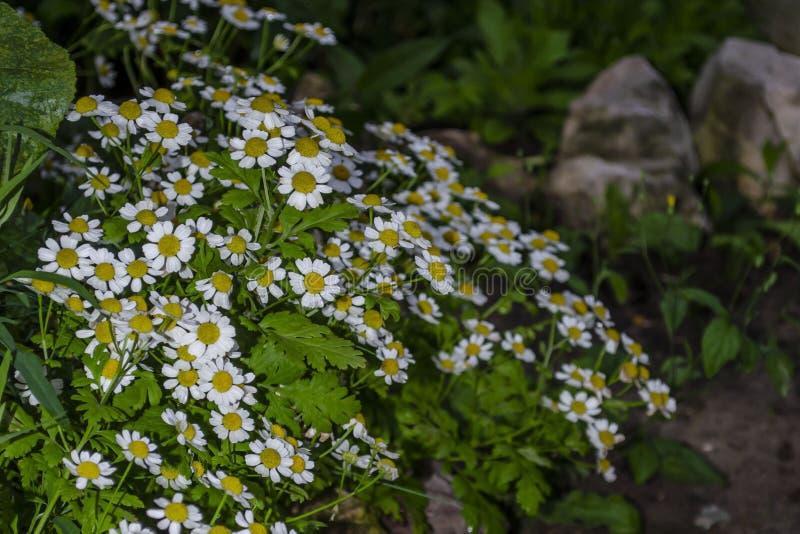 Cape daisies or African daisy Osteorspermum detail of a daisybush in a garden border stock photos