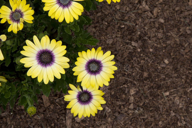 Cape Daisy - Blue-Eyed Beauty. Yellow flowers of plant - Cape Daisy - Blue-Eyed Beauty stock image