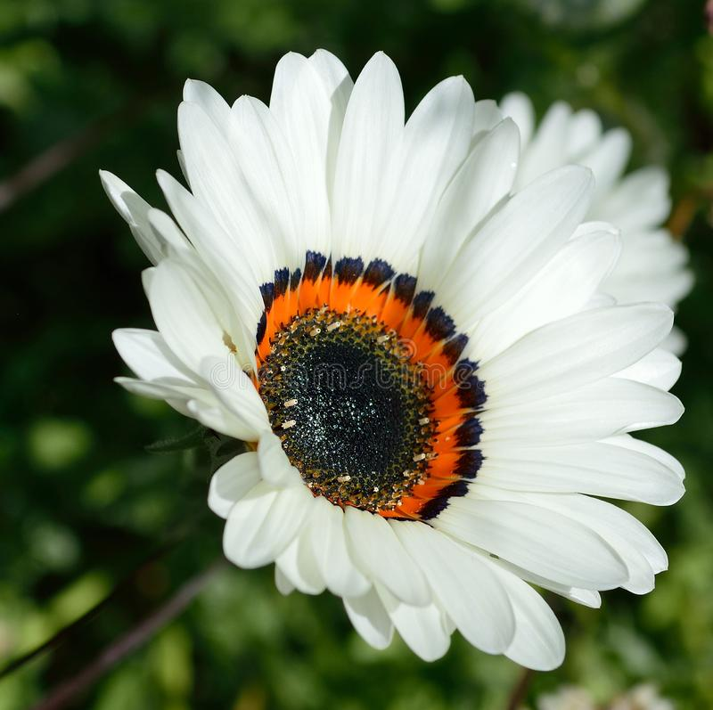 Cape Daisy white petals with black and orange. Cape Daisy. white daisy with black center and orange and black at base of petals. Common Names: Cape Daisy stock photos