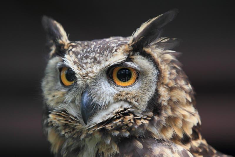 Cape eagle owl. The detail of cape eagle owl royalty free stock photo
