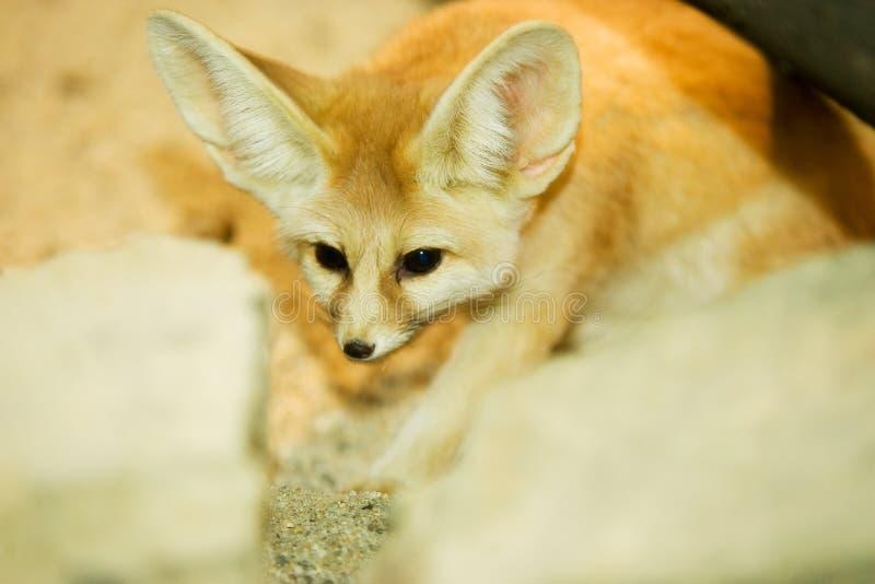 Cape fox stock photography