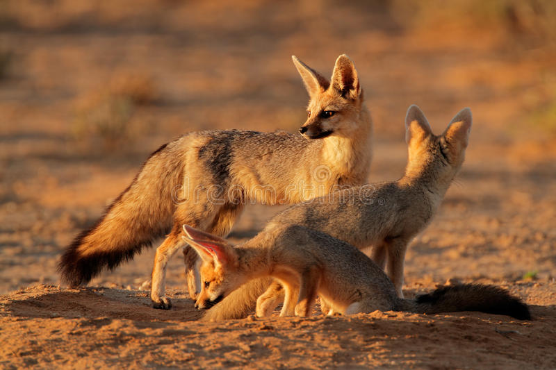 Download Cape fox family stock image. Image of mammal, ecology - 29125135