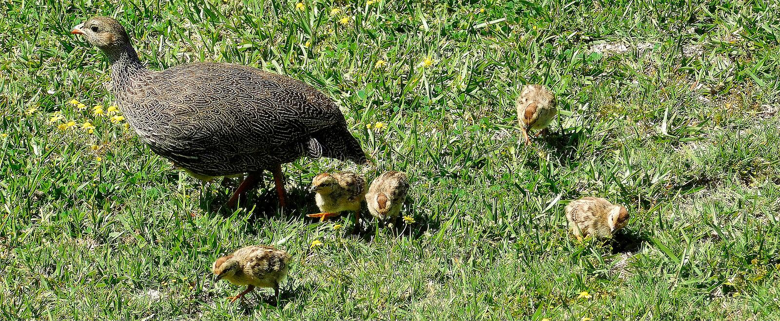 Cape Francolin with chicks. A Cape Francolin Francolinus capensis with her small pied chicks pecking at grass stems. South Africa royalty free stock photos