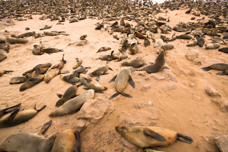 Cape Fur Seal Stock Images