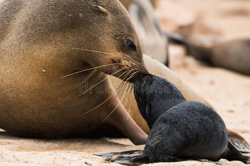 Cape fur seal and pup, Namibia royalty free stock images