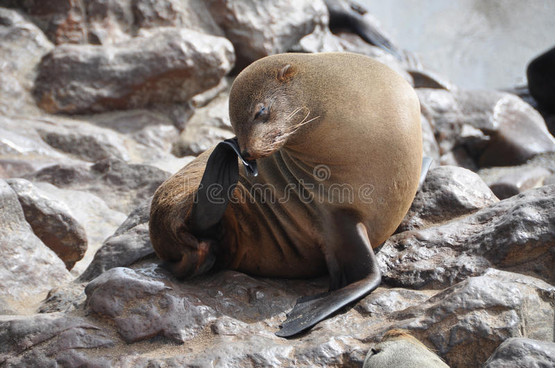 Cape fur seal at Cape Cross, Namibia royalty free stock image