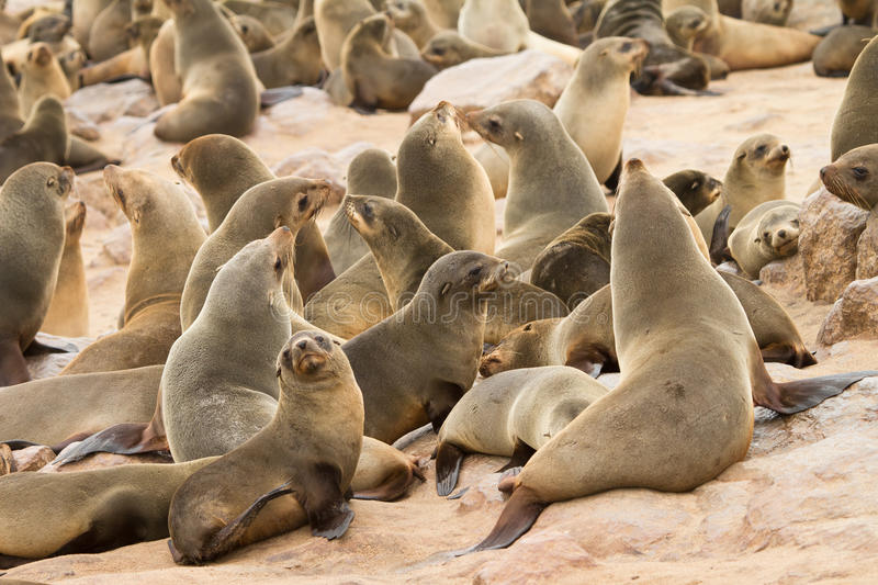 Download Cape fur Seals stock image. Image of coast, hope, african - 18389797