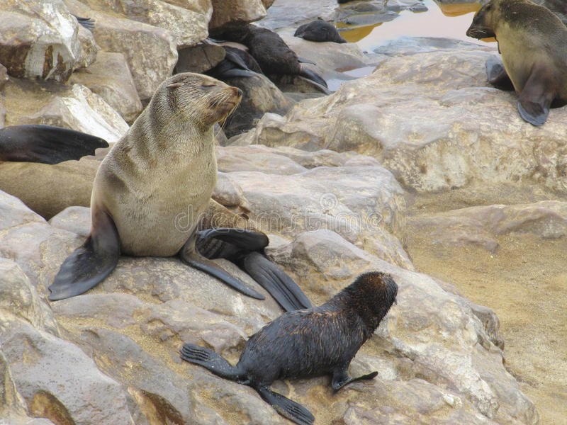 Cape Fur Seals stock photography