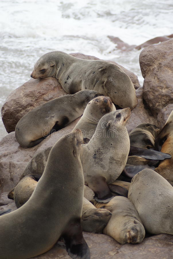 Free Cape Fur Seals At Cape Cross In Namibia Royalty Free Stock Photography - 44353677
