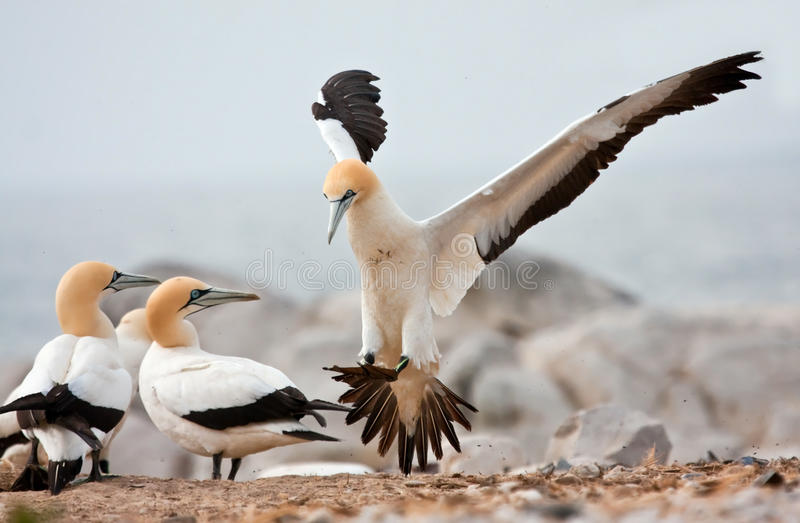 Cape Gannet. Comming in to land at the colony stock images