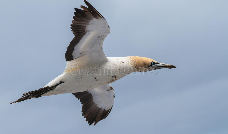Cape Gannet. Flying over Bird Island Lamberts Bay, South Africa royalty free stock photos