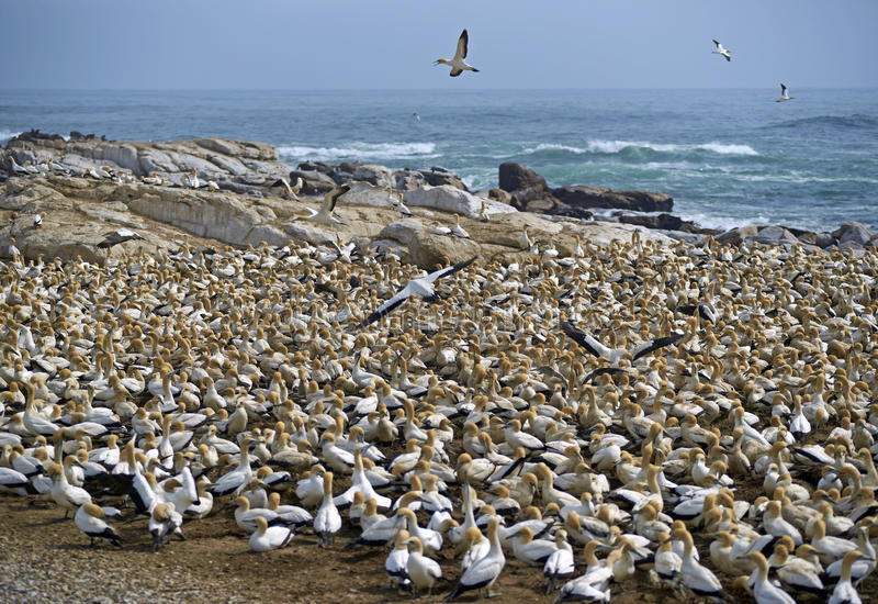 Cape Gannet Colony. Cape Gannet (Morus capensis) colony on Bird Island at Lamberts Bay in the Western Cape of South Africa stock photos