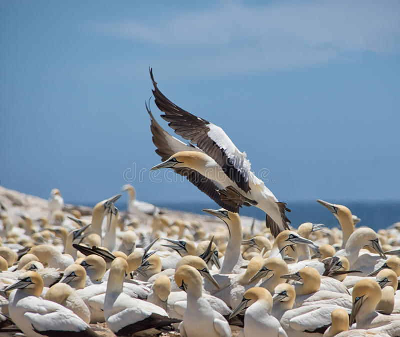 Cape Gannet. A Cape Gannet coming in to land at it`s colony in Southern Africa stock photos