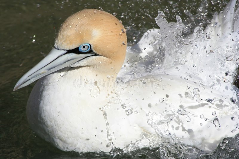 Cape gannet splashing royalty free stock photo