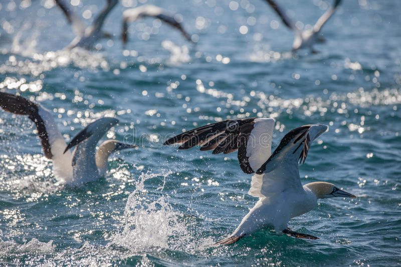 Cape Gannets takeoff from water. Sardine run, East London, South Africa stock images