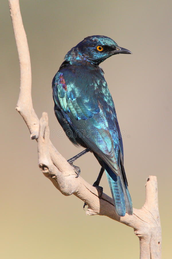 Download Cape Glossy Starling Royalty Free Stock Images - Image: 19109259