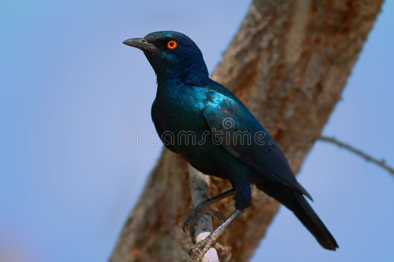 Cape Glossy Starling. The Cape (red-shouldered) Glossy Starling (Lamprotornis nitens) is a large genus of glossy-starlings all of which occur in Africa south of royalty free stock image