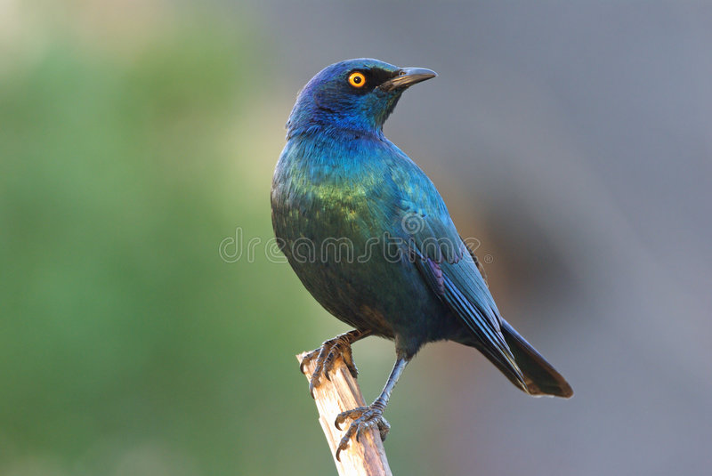 Cape Glossy Starling Adult Male Stock Photography