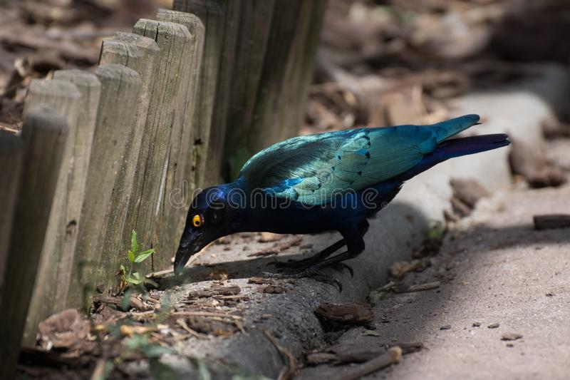 The cape glossy starling in a daylight. The Cape starling, red-shouldered glossy-starling or Cape glossy starling Lamprotornis nitens is a species of starling in royalty free stock photography